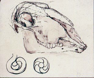 Scull ink on paper